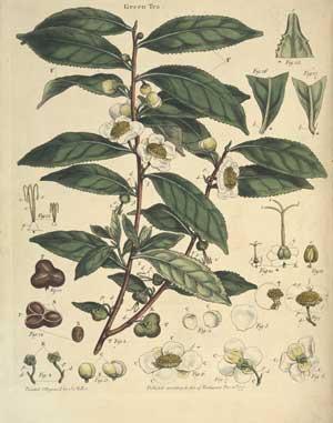 tea-tree-2